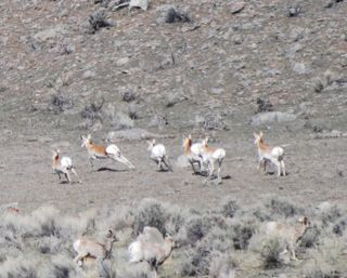 pronghorn and bighorn running.jpg.jpg