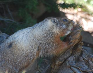 marmot on washburn trail.jpg.jpg