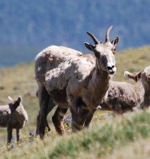 big horn ewe washburn.jpg.jpg