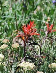 indian paintbrush 2.jpg.jpg