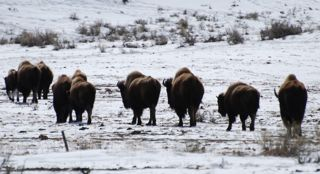 buffalo march.jpg.jpg