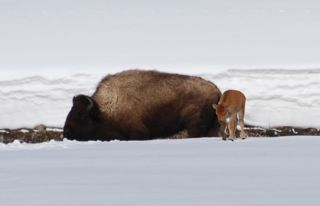 bison calf in snow.jpg copy.jpg