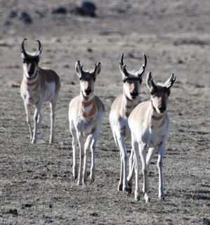 running pronghorn.jpg copy.jpg