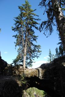 spruce tree on natural bridge.jpg