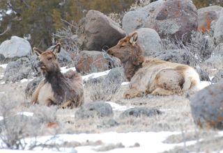 resting elk.jpg copy.jpg