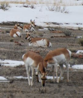 pronghorn gang.jpg copy.jpg