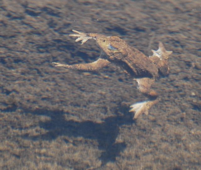 yosemite toad dive.jpg.jpg