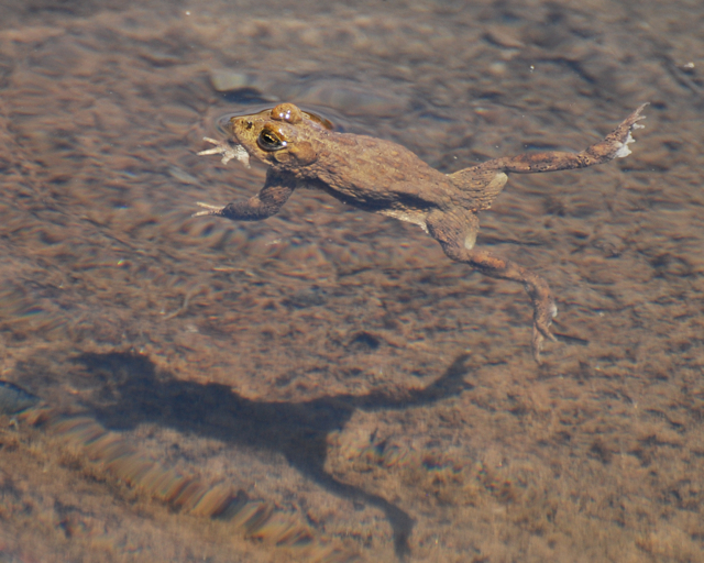 yosemite toad swim shadow2.jpg.jpg