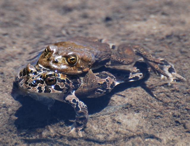 yosemite toads amplexus.jpg.jpg