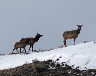 elk on ridge.jpg