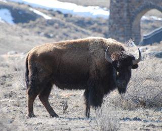 bison near arch.jpg.jpg