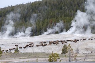 bison crossing geyser hill.jpg.jpg