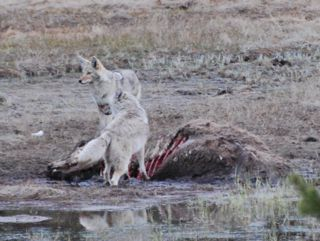 coyotes with bison carcass.jpg.jpg