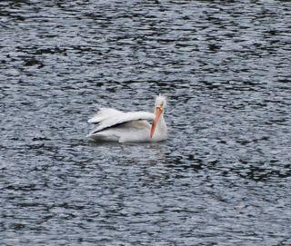 white pelican 2.jpg.jpg
