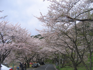 avenue of sakura.jpg