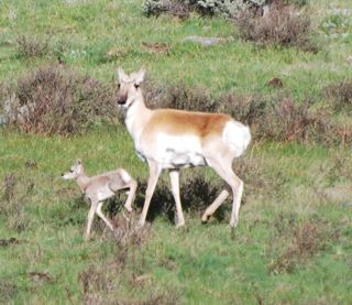 pronghorn and fawn 5.jpg.jpg