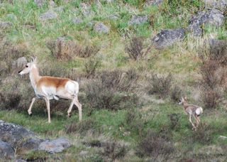 pronghorn and fawn 3.jpg.jpg
