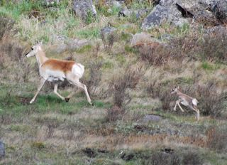 pronghorn and fawn 2.jpg.jpg