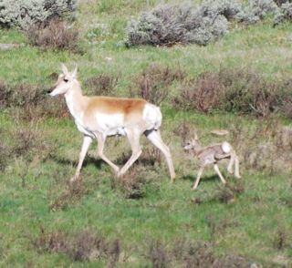 pronghorn and fawn 4.jpg.jpg