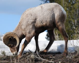 big horn sheep near roosevelt.jpg.jpg
