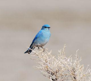 bluebird 4.jpg.jpg