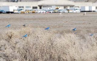 multiple bluebirds 3.jpg.jpg