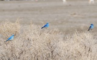 three bluebirds.jpg.jpg