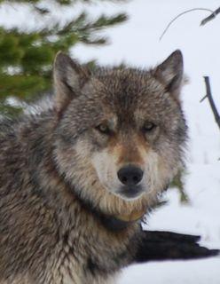 grey wolf close 2.jpg.jpg