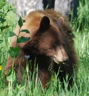 bear cub eating 2.jpg copy.jpg