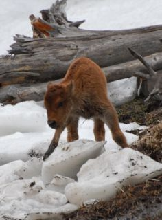 bison calf.jpg copy.jpg