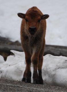 bison calf 4.jpg.jpg