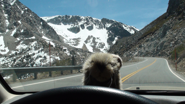Dashboard pika on Tioga Road