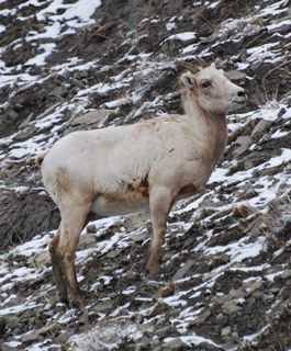 bighorn on ridge.jpg.jpg