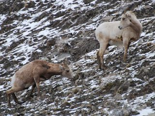 bighorn sheep on ridge.jpg.jpg