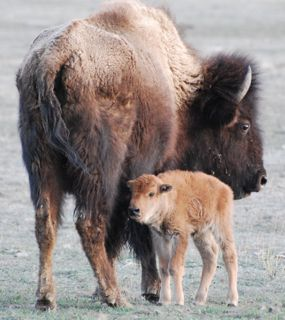 bison newborn 2.jpg copy.jpg