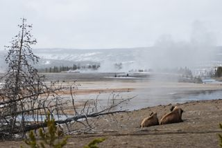 bison at midway geyser basin.jpg.jpg