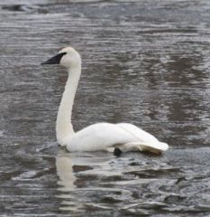 swan on gibbon river.jpg.jpg