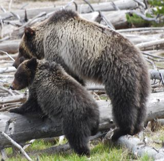 grizzly and cub 2.jpg.jpg