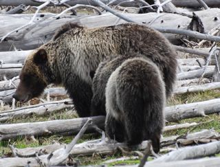 grizzly mom 2 cubs.jpg.jpg