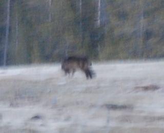 blurry wolf.jpg.jpg