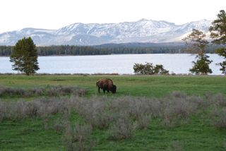 bison at lake.jpg.jpg