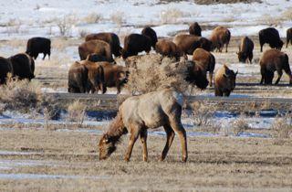 elk and bison.jpg.jpg
