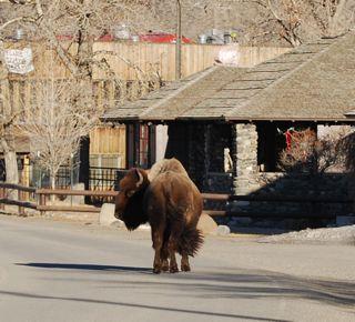 bison buddy.jpg.jpg