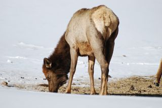 elk grazing in mammoth.jpg.jpg