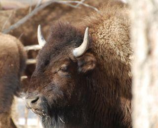 bison buddy.jpg