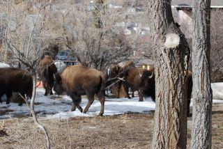 bison in backyard.jpg