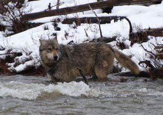 wolf crossing gardiner river.jpg.jpg