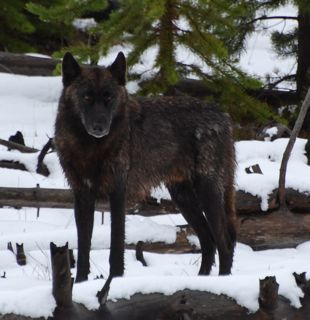 black wolf 2.jpg.jpg