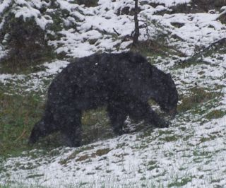 black bear in snow.jpg.jpg