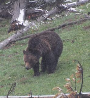 grizzly in snow 3.jpg.jpg